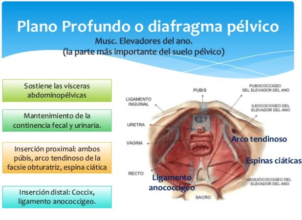Plano profundo periné diafragma pelvico