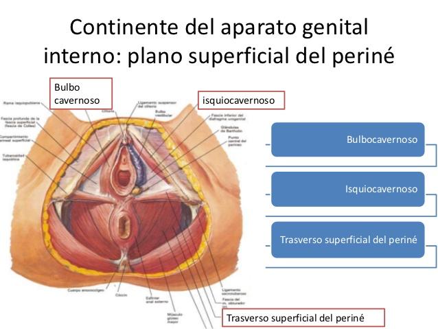Plano superficial periné